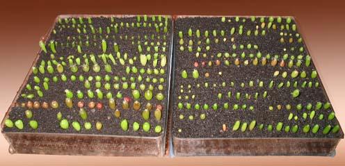 Выращивание кактус из семян в домашних условиях