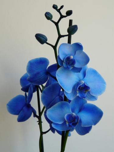 Как в домашних условиях покрасить орхидею в синий цвет