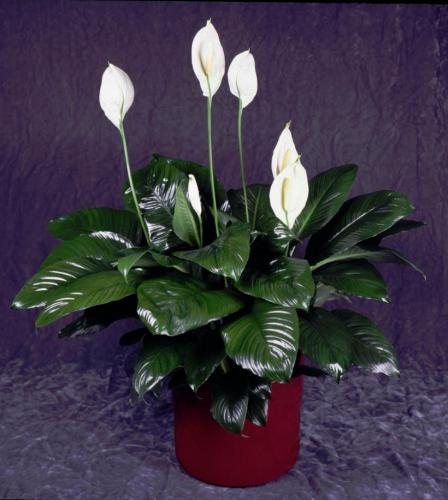 Спатифиллум фото комнатный цветок