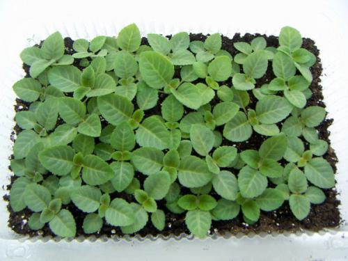 Семена глоксинии почтой