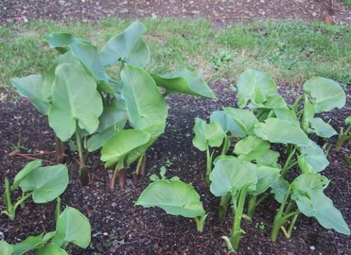 Каллы садовые – нежность природы