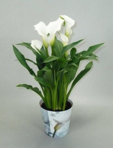 Коала цветок в домашних условиях