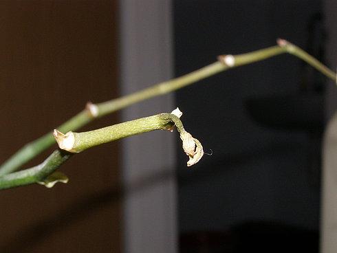 Что делать если орхидея отцвела
