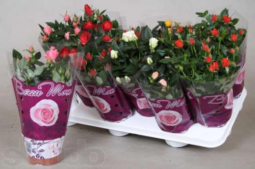 Разновидности комнатных роз названия и фото