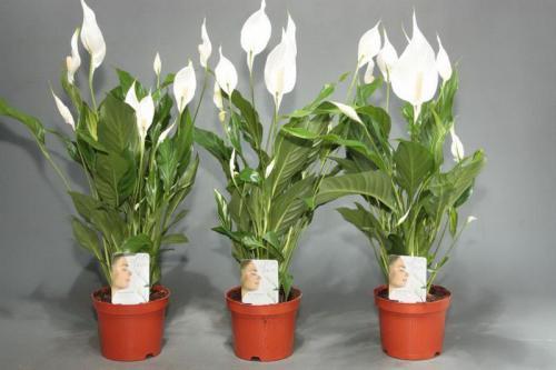Цветок spathiphyllum как ухаживать