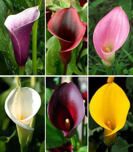 Комнатные цветы калла: условия содержания
