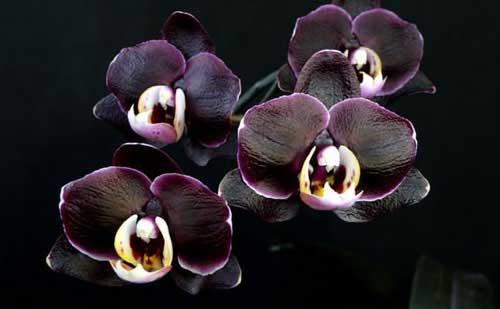 Орхидея черная