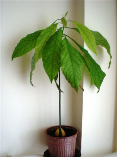 Выращиваем дерево авокадо дома Авокадо Дерево в Доме