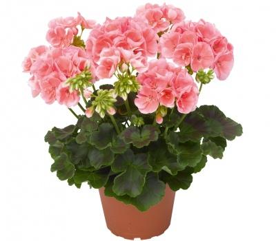 комнатные цветы фото герань:
