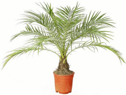 Как выглядят комнатные пальмы на фото