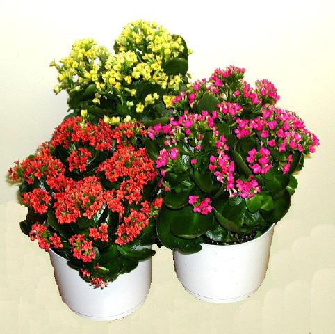 Полезные комнатные цветы для здоровья и хорошего настроения