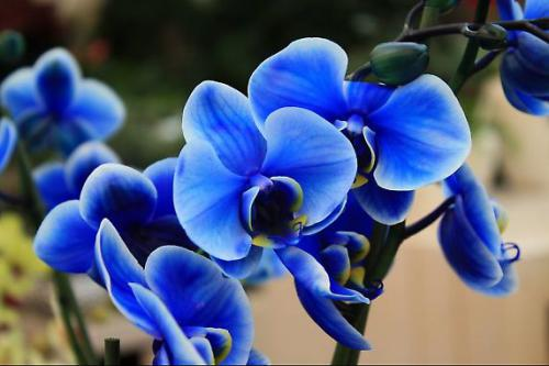 Голубые орхидеи в природе