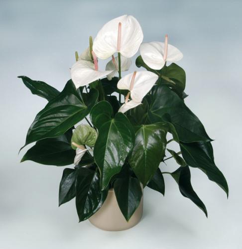 Комнатные цветы мужские