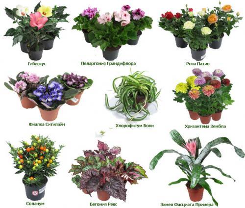 названия и фото цветов домашних
