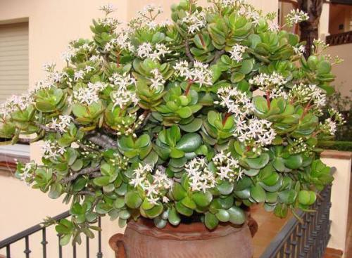 Цветок похожий на денежное дерево фото и названия