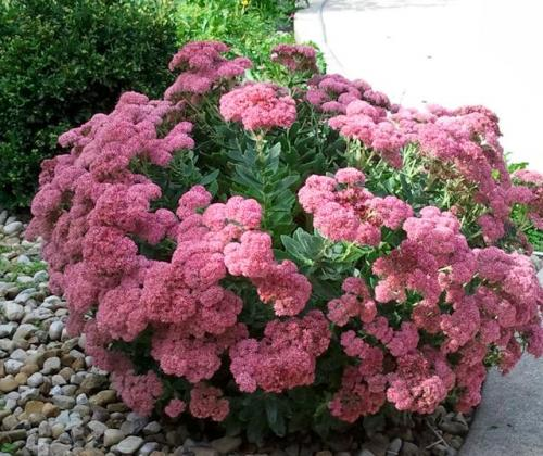 Цветок очиток – универсальное растение для декора сада