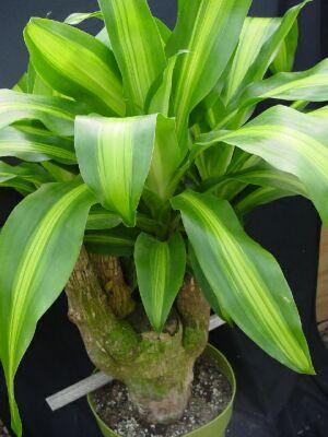 Комнатное растение драцена душистая