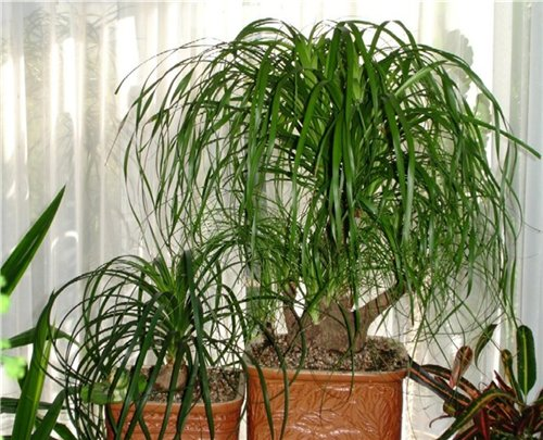 Бутылочное дерево нолина выращивание 159