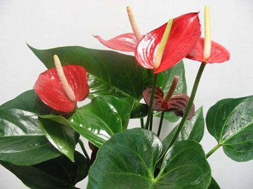 Ли мужские комнатные растения