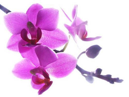 Выращивание редиса Цветы орхидеи, выращивание 29