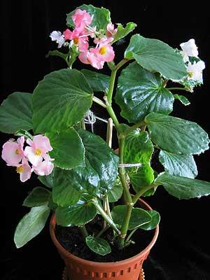 Комнатный цветок бегония: уход в домашних условиях с фото 97