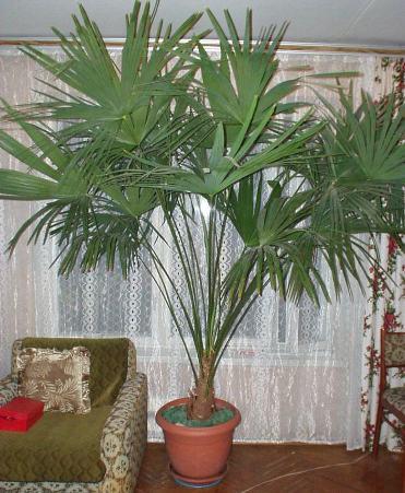 Пальма в горшке  уход в домашних условиях