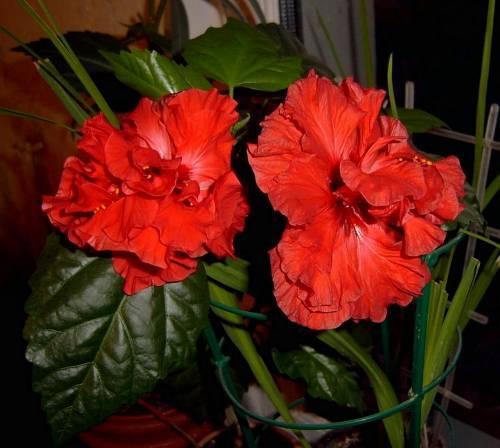 Цветок гибискус китайская роза