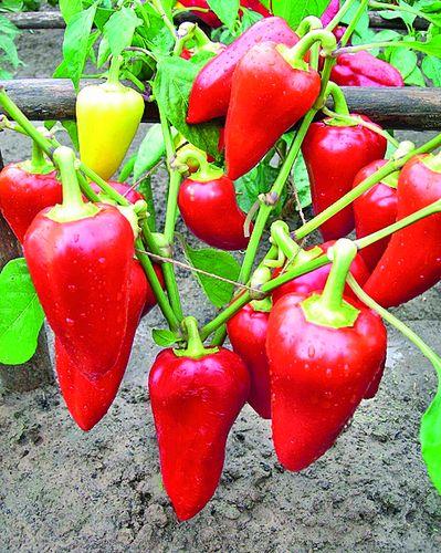 Чем полезен перец и как его выращивать