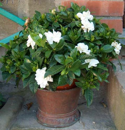 gardenia_jasminoides2.jpg