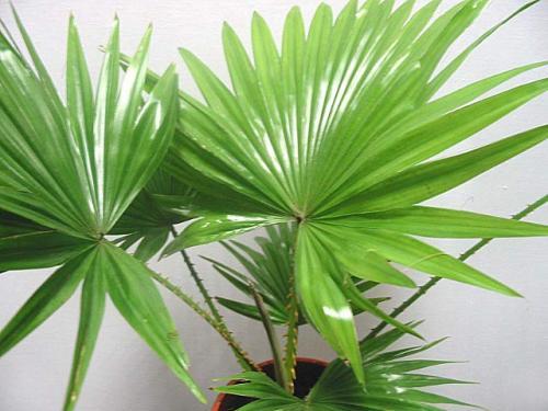 Как ухаживать за цветком пальма