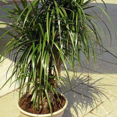 Драцена окаймленная или домашняя пальма