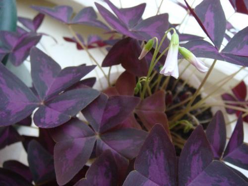 Цветы антуриум с черными цветами