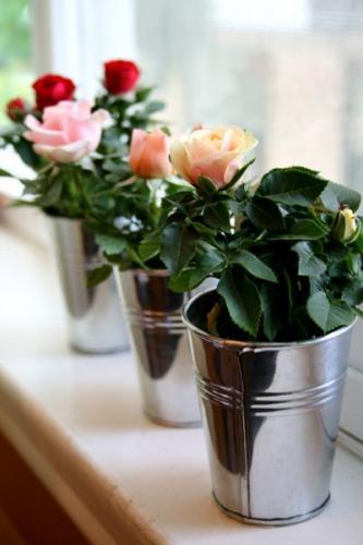 Виды домашних роз фото и названия