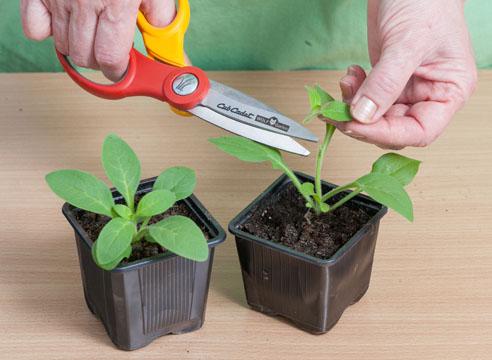 Как правильно посадить петунию на рассаду, уход за ней