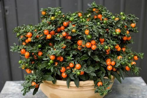 Паслен декоративный или соланум: цветок для выращивания в помещении