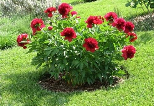 Правила пересадки пионов весной и уход за молодыми растениями