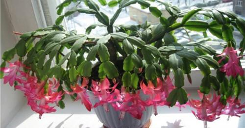 Как выращивать декабрист? Цветок: уход, размножение, описание