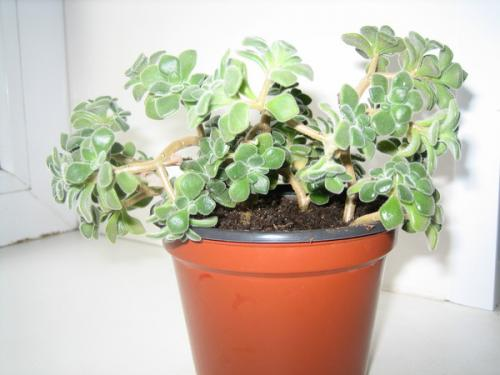 Аихризон или комнатное растение дерево любви: описание, посадка и уход