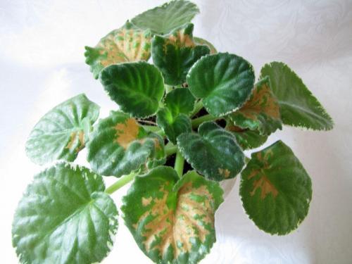 Как вырастить здоровый цикламен: болезни цветка, лечение и профилактика