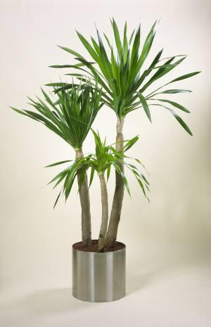 Драцена дракон: чудесное растение для дома и офиса