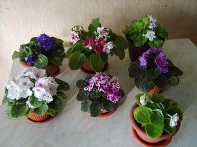 Почему скручиваются листья у фиалки, и как вырастить красивый цветок