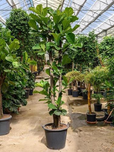 Фикус лировидный: размножение и условия выращивания растения