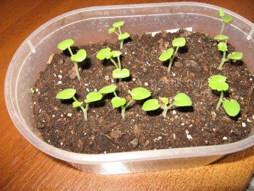 Герани выращивание и уход в домашних условиях 33
