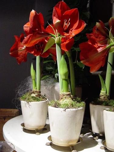 Гиппеаструм: пересадка и выращивание красивого домашнего растения