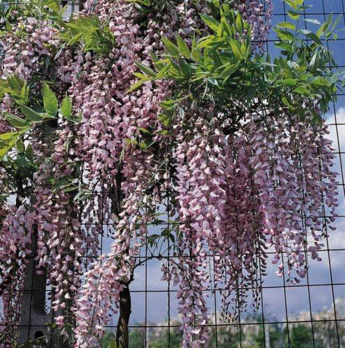 Правильное выращивание глицинии из семян: подготовка, посадка, уход