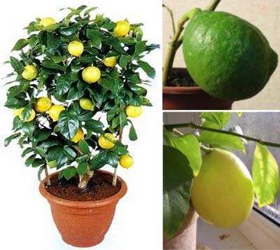 Уход за лимонов в домашних условиях 967