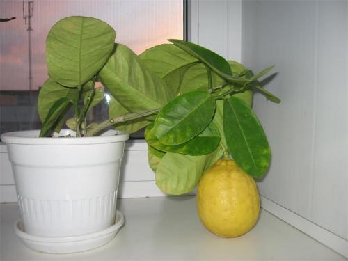 Уход за лимонов в домашних условиях 256
