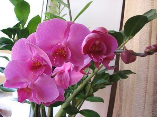 Как заставить орхидею зацвести? Способы стимуляции