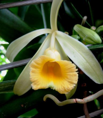 Орхидея ваниль: описание, посадка и выращивание