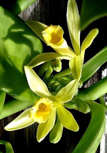 Орхидея ваниль купить
